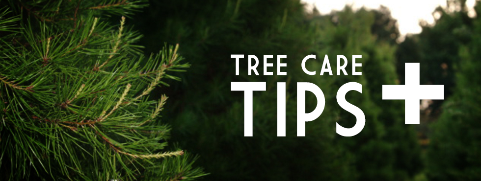 how to care for your fresh cut christmas tree